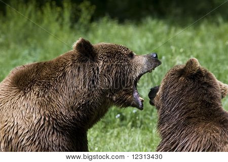brown bear ( Ursus arctos ) looking for food