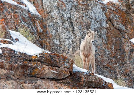 Young Bighorn Mountain Sheep outside Jackson Hole Wyoming USA on a rock ledge