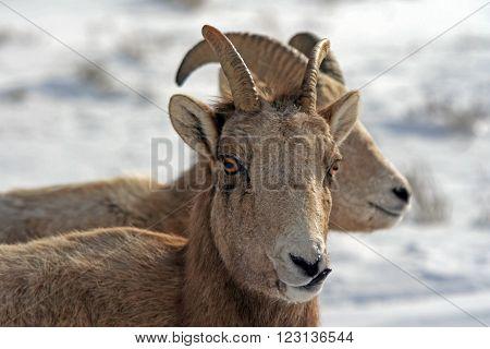 Two Bighorn Mountain Sheep outside Jackson Hole Wyoming USA