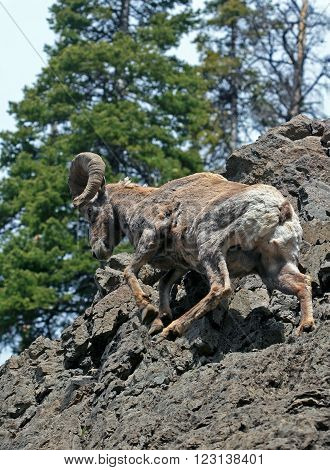 Bighorn Sheep Ram climbing up a sheer rock face in Yellowstone National Park in Wyoming USA