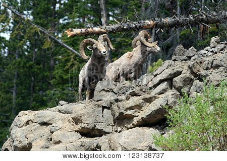 Two Bighorn Sheep Rams in Yellowstone National Park in Wyoming USA
