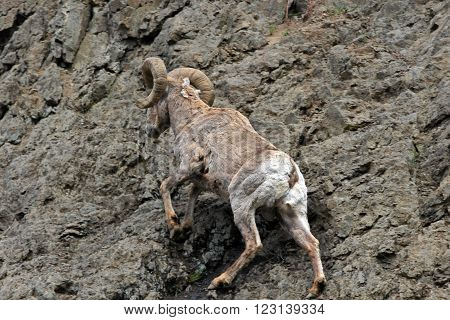 Bighorn Sheep climbing a rock wall on the eastern side of  Yellowstone National Park in Wyoming USA