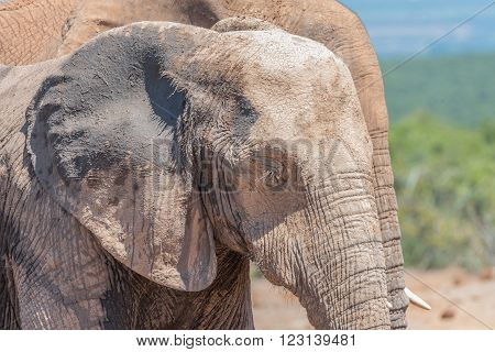 The mud-covered face of an African Elephant Loxodonta africana