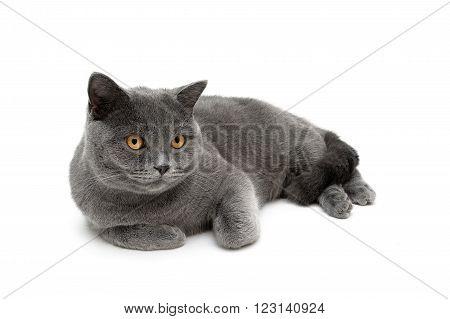 cat with yellow eyes lying on a white background. horizontal photo.