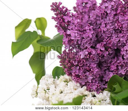 Bright purple and white lilac flowers isolated over white background