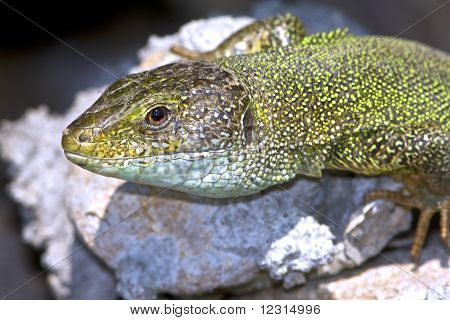 a male of green lizard