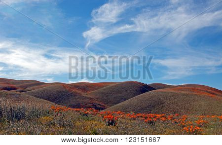 California Golden Poppies during springtime in the high desert of southern California near Lancaster CA