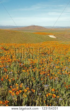 California Golden Poppies during springtime in the high desert of southern California near Lancaster