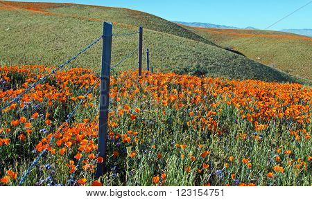 California Golden Poppies with barbed wire fence during springtime in the high desert of southern California near Lancaster