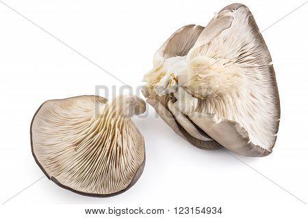 Oyster mushrooms, Pleurotus ostreatus, on white background
