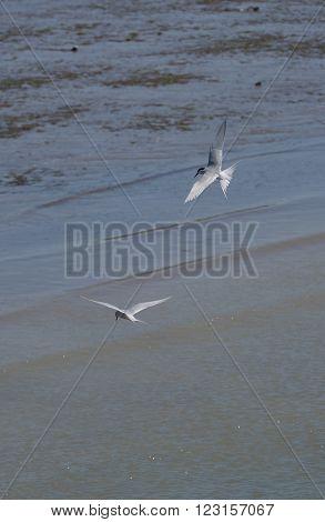 A pair of antarctic terns (Sterna vittata) in flight seen in Patagonia.