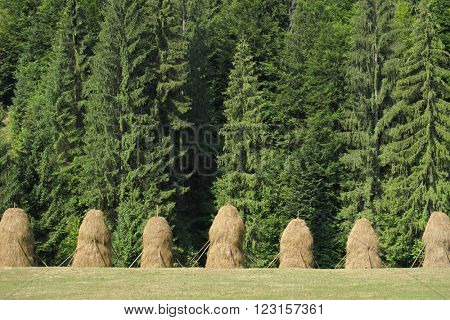 haystacks in row on background of a fir forest in Apuseni mountains, Romania