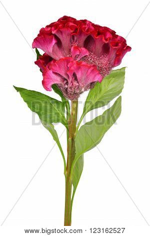 Cockscomb flower (Celosia argentea) isolated on white background.