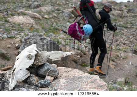 Large White Cranium of Unknown Animal located on Stone and Body of Man with Trekking Poles Going Behind
