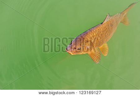 Fish rose to the surface of water