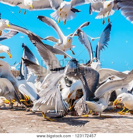 Birds quarrel - Seagulls fighting for the fish in Essaouira Morocco