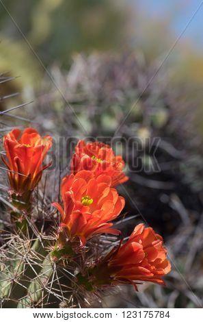 Beautiful wild cactus blooming flowers