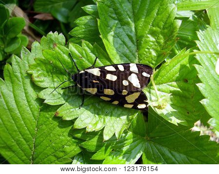 Close up of a Cream-Spot Tiger Moth (Arctia villica)