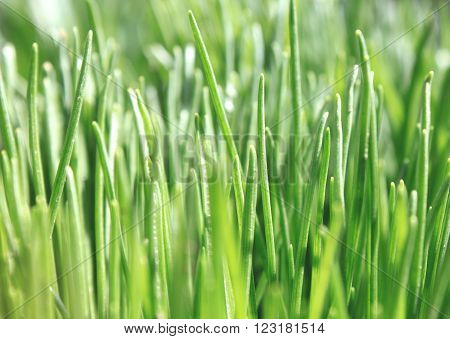 Close up of fresh thick grass, background of green grass, summer background