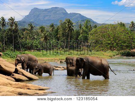 elephants herd swim in lake water in jungle
