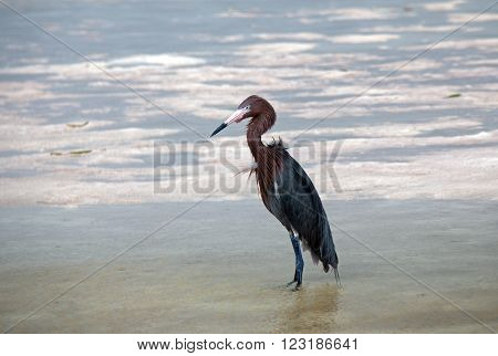 Reddish Egret in marshy tidal waters in Chacmuchuk Lagoon in Isla Blanca Cancun Mexico