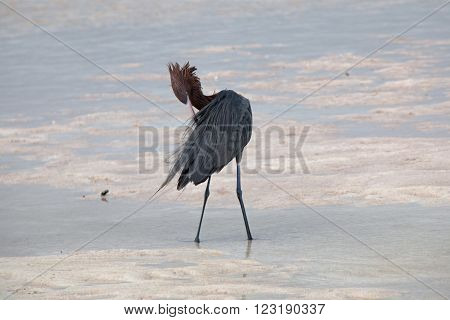 Reddish Egret preenng in Isla Blanca tidal waters near Cancun Mexico