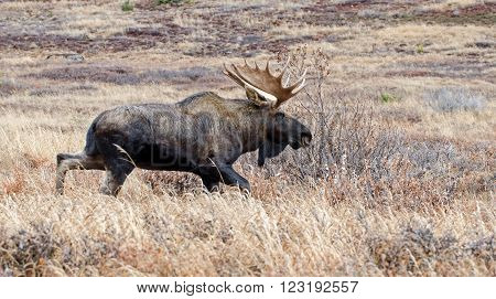 Bull Moose during the fall rut season