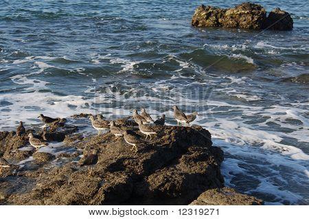 Wandering Tattler, Pacific coast birds