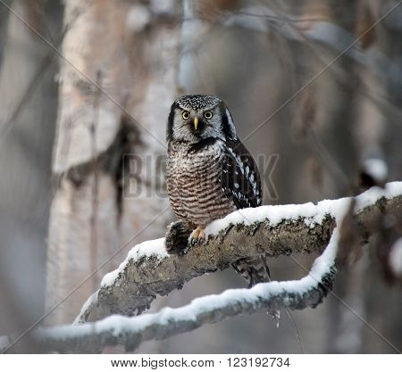 Northern Hawk Owl with a vole in its talons