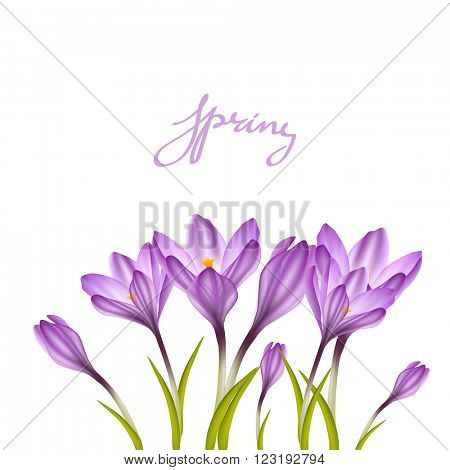 Spring violet crocuses on white. Floral nature spring background