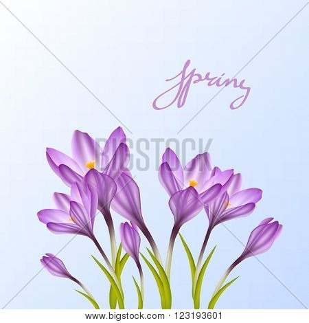 Spring violet crocuses on blue sky. Floral nature spring background