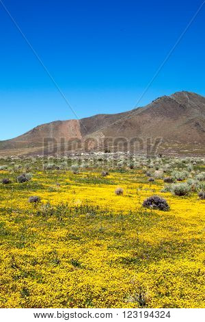 Wildflowers in the spring at Lake Isabella California USA in the southern Sierra Nevada mountains in Central California