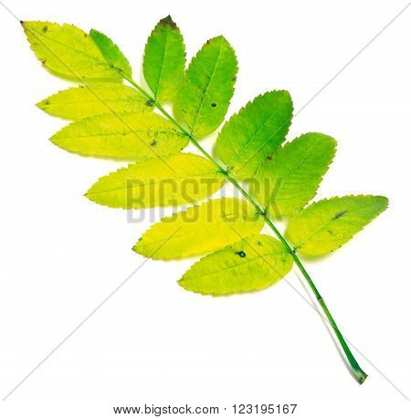 Yellowed rowan leaves isolated on white background