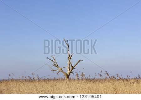 dead tree above yellow reed against blue sky in eempolder in the netherlands
