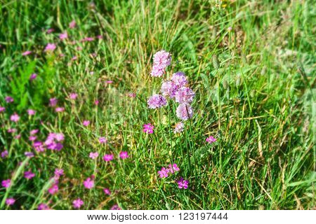 Pink bright flowers on an alpine meadow in the early spring.