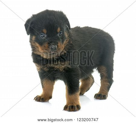 young puppy rottweiler in front of white background