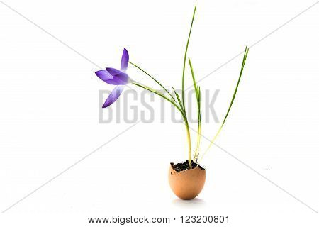 crocus flower planted in an eggshell, cute decoration ideas for Easter and spring, isolated with small shadow on a white background