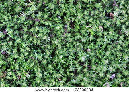 low growing green creeping pflox foilage  background