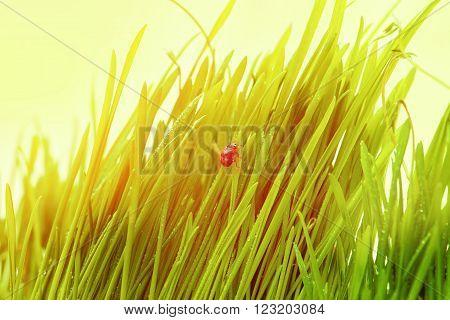 Ladybug On Fresh Green Leaf Isolated. Spring Background