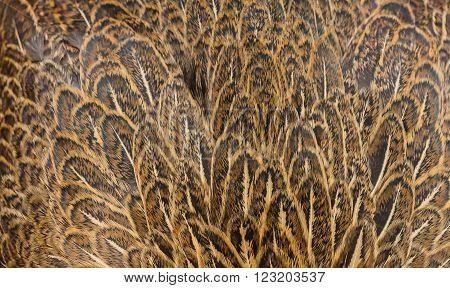 brown Chicken broody feather background in farm