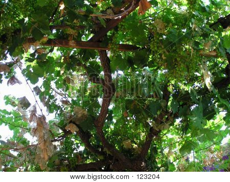 Green Vine Grapes