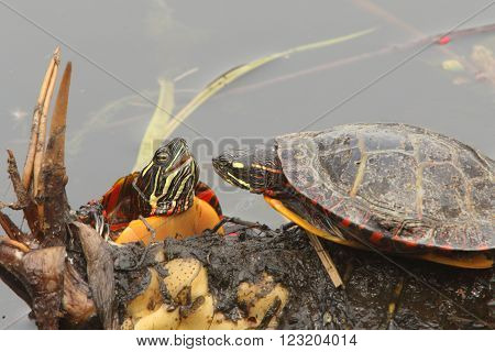 Pair of Painted Turtles (Chrysemys picta) sunning on a log