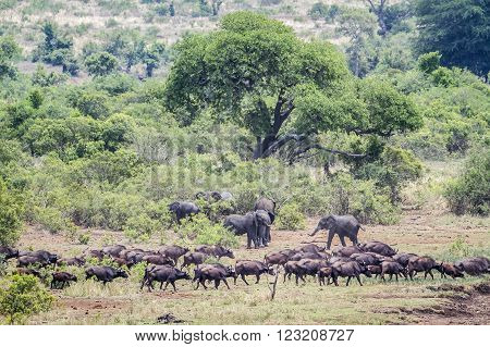 Specie Syncerus caffer and Loxodonta africana, herd of wild elephants in the bush
