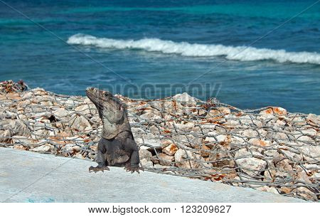 Lesser Antillean Iguana on Isla Mujeres Punta Sur Acantilado del Amanecer - Cliff of the Dawn