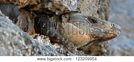Lesser Antillean Iguana on Tulum Mexico Cliffs