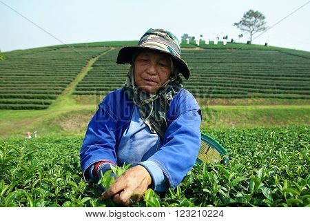 Chiang Rai Thailand - February 11 2016: Karen workers in northern Thailand. Picking tea leaves in the plantation.