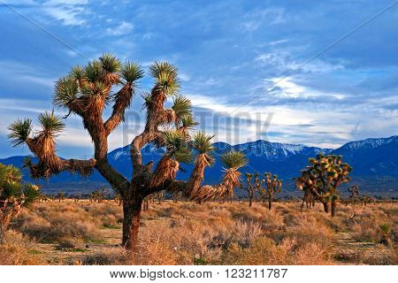 Joshua Tree in the high desert of southern California USA near Palmdale with the San Gabriel mountains in the background