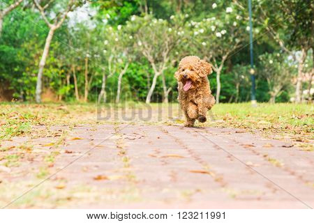 Active poodle purebred dog running, exercising and having fun at park