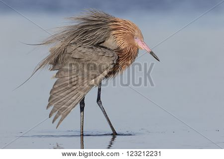 Reddish Egret Extending A Wing - Florida