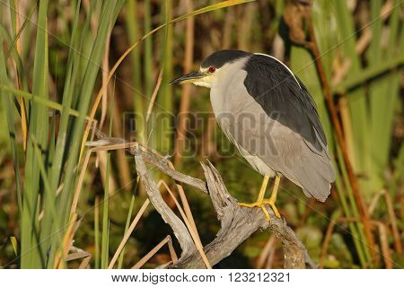 Black-crowned Heron Perched On A Branch - Florida